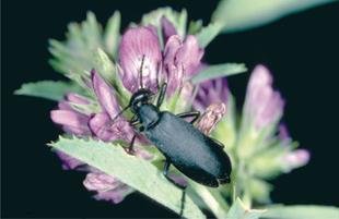 Figure 2. Black blister beetle.