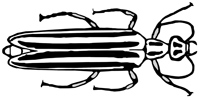 blister beetle drawing