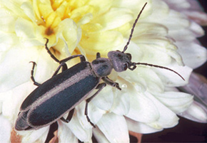 Figure 3. Margined blister beetle.