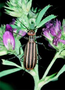 Figure 1. Striped blister beetle.