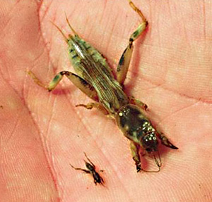 Adult and nymphal mole crickets showing size difference.