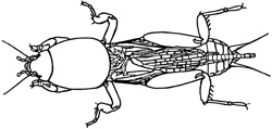 mole cricket drawing