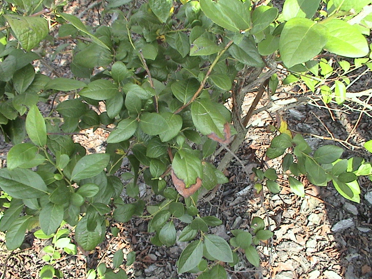 Figure 2b. Marginal leaf burn on blueberry bush