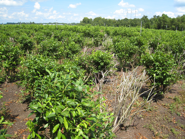 photo showing dead blueberry bushes