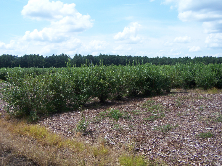 photo of a field trial showing resistant and non resistant varieties