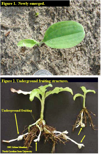 Figure 1. Newly emerged spiderwort. Figure 2. Underground fruiting structures.
