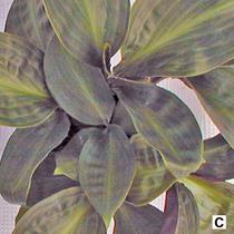 Figure 1c. Geogenanthus 'Inca'