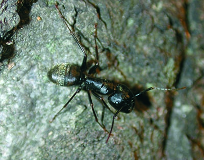 Black carpenter ant