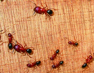 Florida carpenter ant  sc 1 st  UGA Extension - University of Georgia : carpenter ants in attic  - Aeropaca.Org