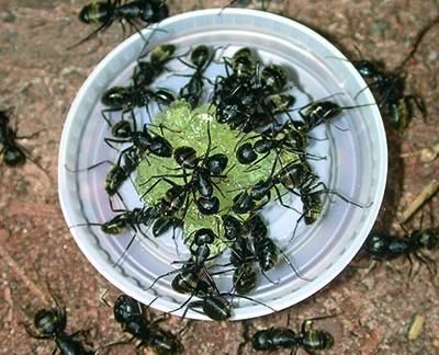 ants eating gel bait