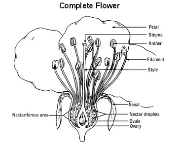 Pollination of vegetable crops uga cooperative extension a complete flower contains all four parts if only one of the essential organs is present in a flower it is called an incomplete flower ccuart