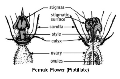 Pollination of vegetable crops uga cooperative extension a complete flower contains all four parts if only one of the essential organs is present in a flower it is called an incomplete flower ccuart Choice Image