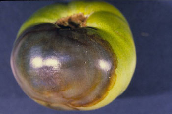 Figure 1. Buckeye rot of tomato caused by Phytophthora.