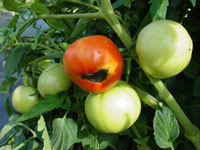 Blossom-end rot of tomato