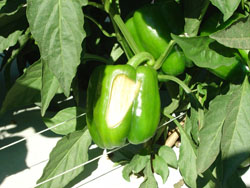 Figure 4. Sunscald (or sunburn) on pepper with BER-like symptoms.