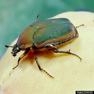 Green June Beetle Adult