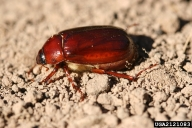 May or June Beetle Adult