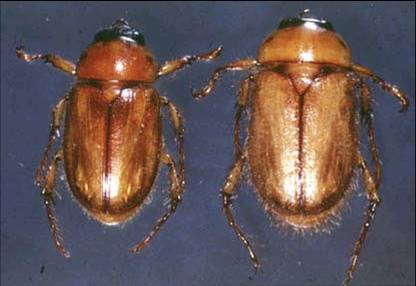 Chafer Adult
