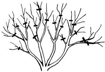 If you want intermediate size shrubs, cut out only small branches less than pencil size.