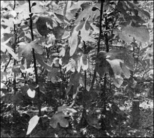 Figure 1. Figs propogated from hardwood cutting six months after cutting.