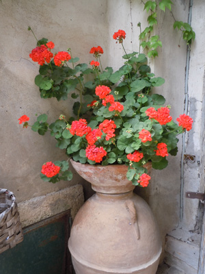 geranium in a pot