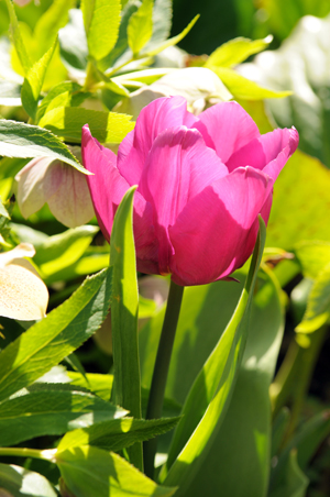 tulip forced spring bulb