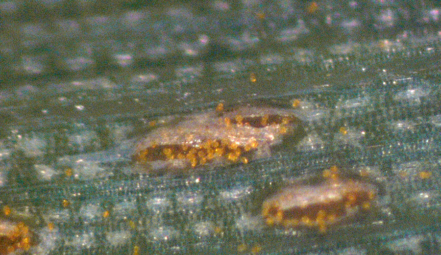 Figure 2. Pustules (sori) of P. striiformis on wheat leaves.