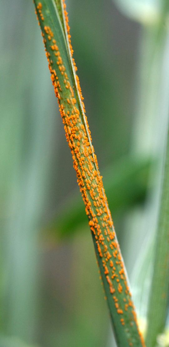 Figure 3a. Stripe rust symptoms.