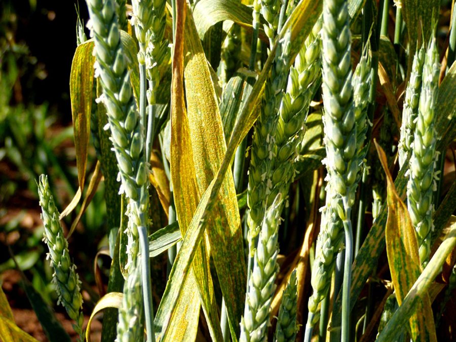 Figure 4b. Mature symptoms of stripe rust. Infected plant tissue becomes brown and dry.