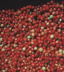 mayhaw fruit