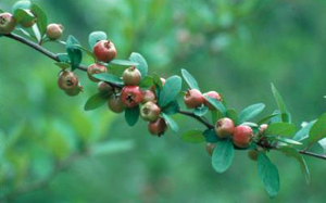 mayhaw fruit