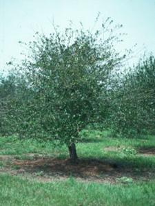 mayhaw tree