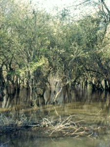mayhaw tree in water
