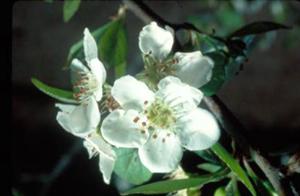 mayhaw blossom