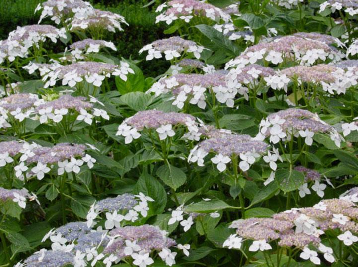 lacecap flower