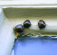 Fig. 3. (C) Megacopta cribraria congregating in the corner of a window frame on the outside of a house in Hoschton, Ga., on November 3, 2009.