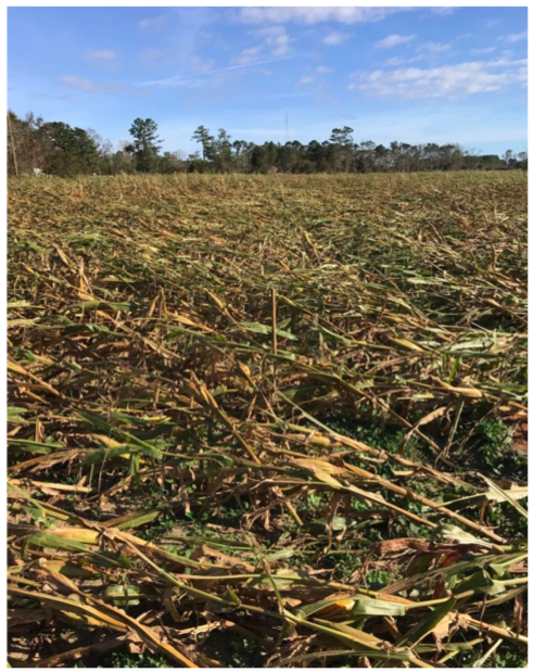 Crop of tropical corn intended to be cut for silage