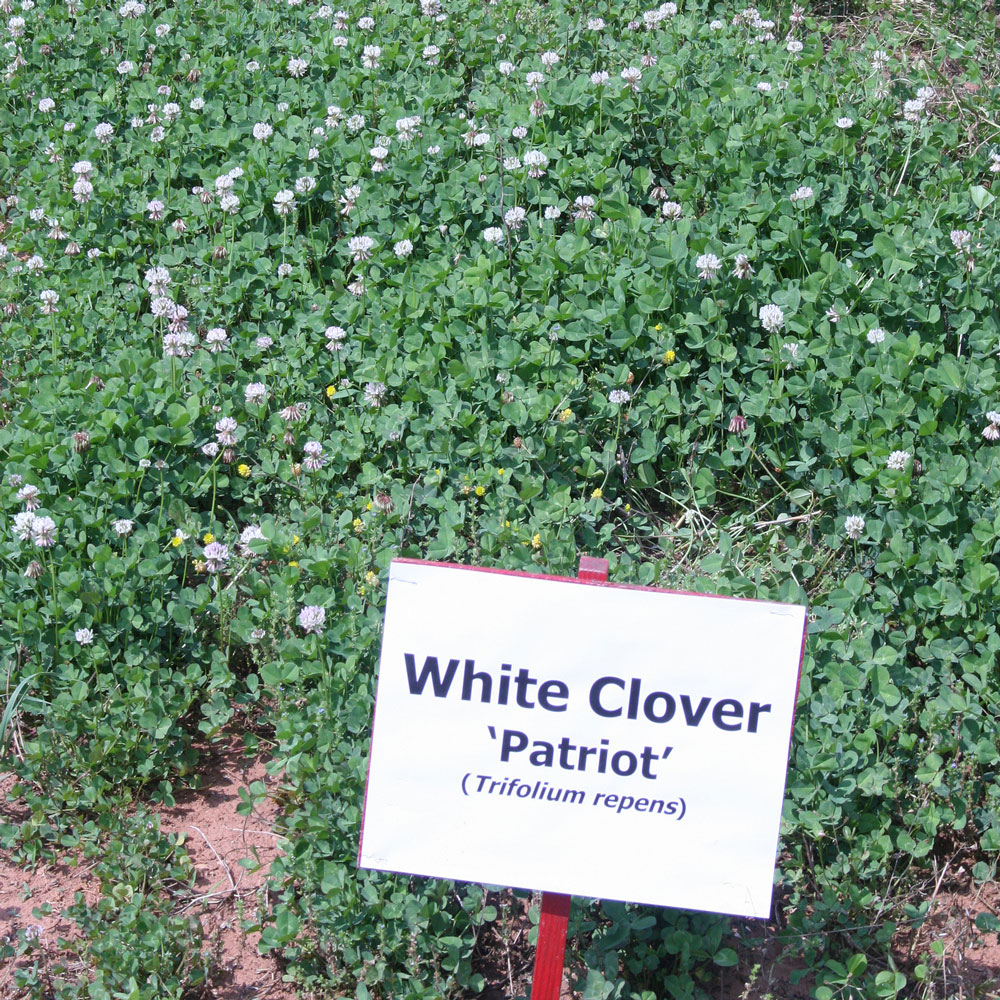 White Clover Establishment and Management Guide cover image