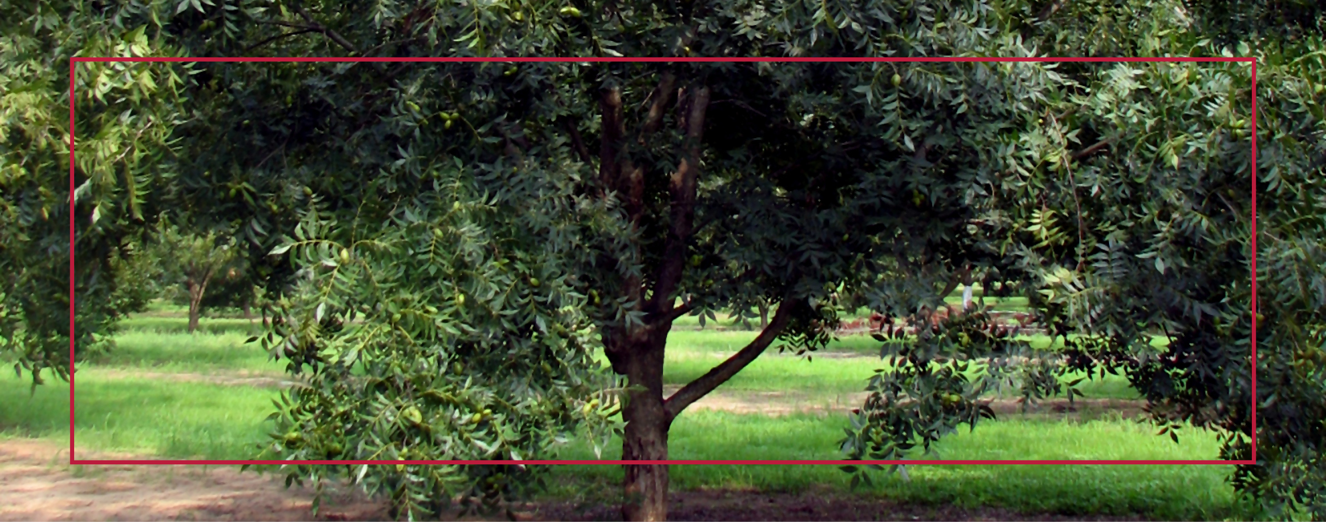 Establishing a Pecan Orchard