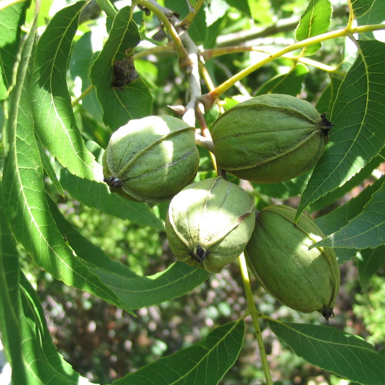 Pecan Trees for the Home or Backyard Orchard cover image