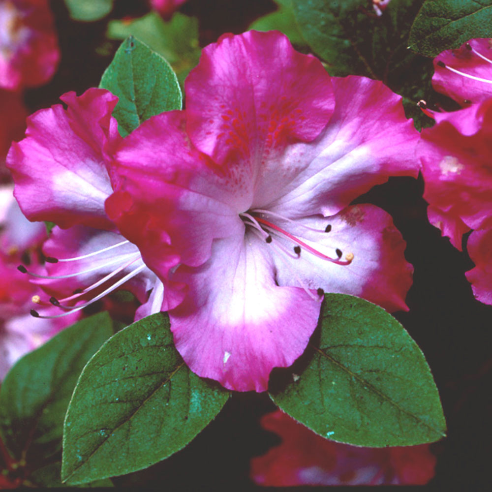 Selecting and Growing Azaleas cover image