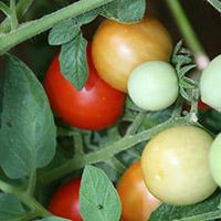 Georgia Homegrown Tomatoes
