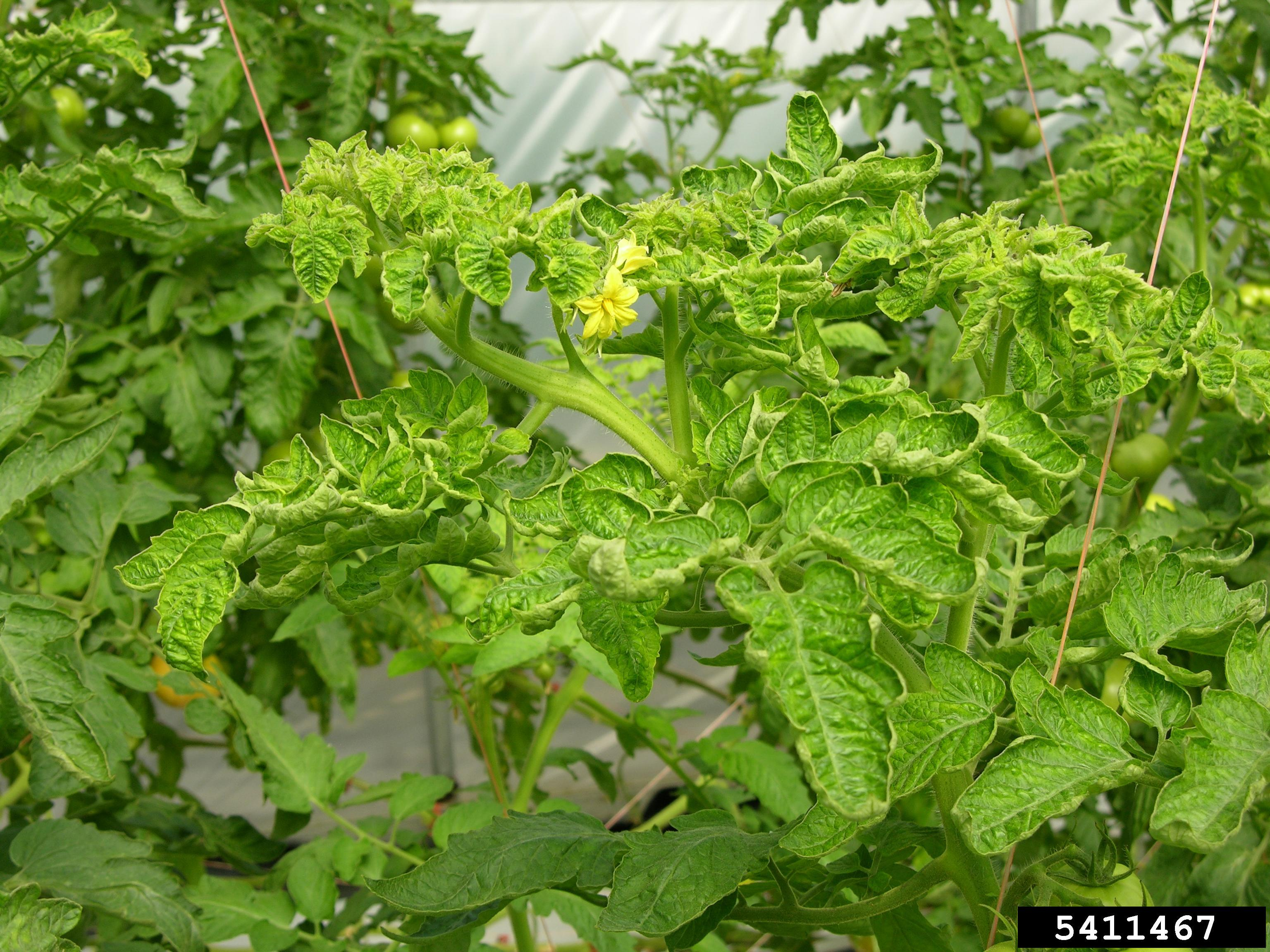 Tomato leaves can curl in response to environmental stresses, like lack of water, or as a symptom of a disease, like tomato leaf curl virus, shown here.