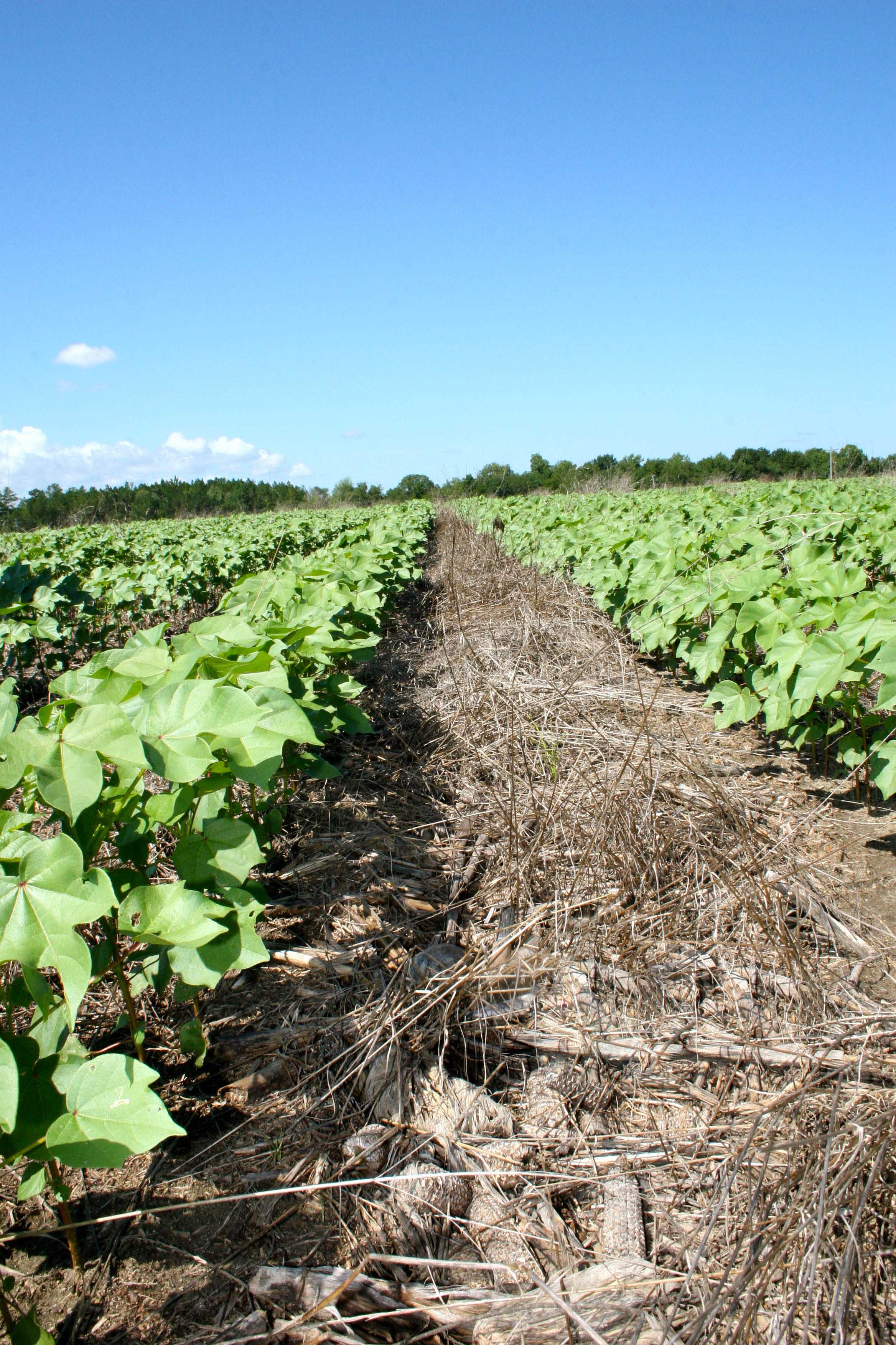 Conservation tillage in cotton field.