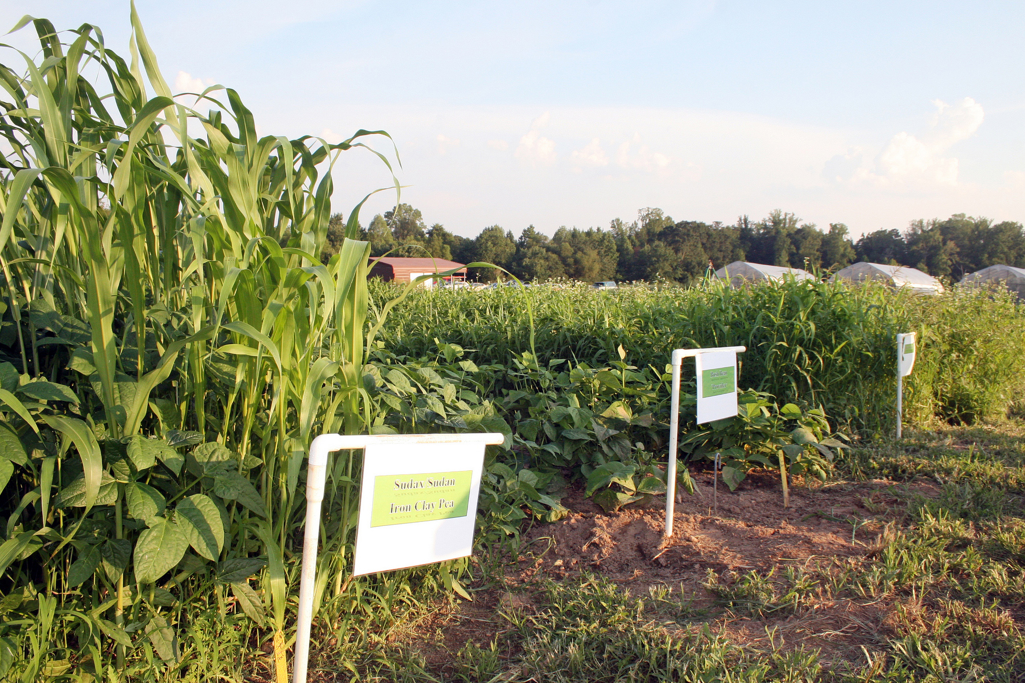 Rows of cover crops being grown for research at UGA College of Agricultural and Environmental Sciences organic research and demonstration farm in Watkinsville.