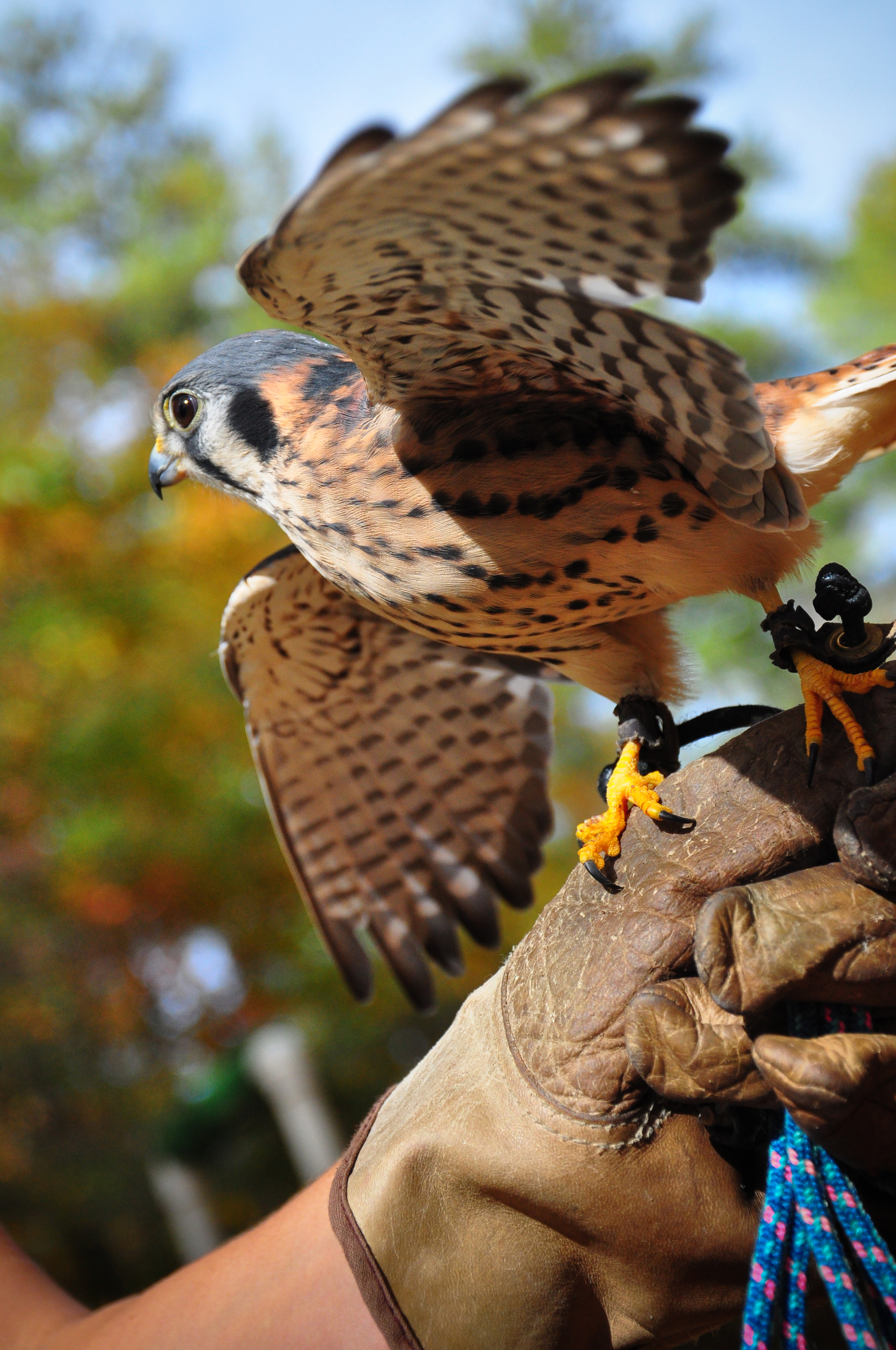 An American Kestrel from the Rock Eagle 4-H Center's collection
