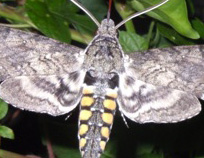 The adult of the hornworm caterpillar is a hummingbird moth.  This fast-flying moth has a long tongue that can suck nectar from deep-throated flowers.  Like a hummingbird, the moth can hover while feeding.