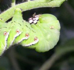 Hornworm larvae are well camouflaged and can rapidly strip the leaves from a tomato plant.  The horn is for appearances, since it is flexible and harmless.