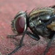 Theoretically, a single pair of houseflies mating in the spring could result in trillions of flies before the summer's end.