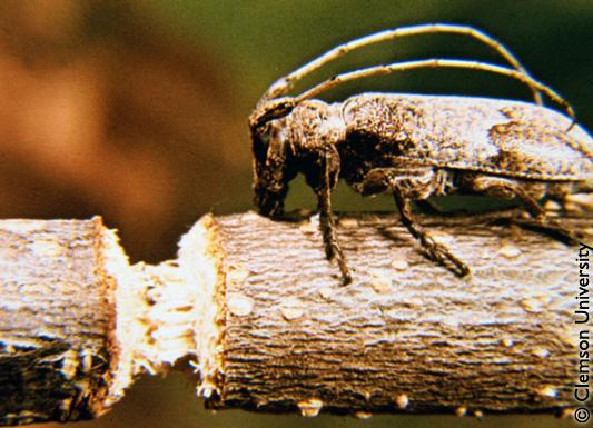A twig girdler chews on a branch.
